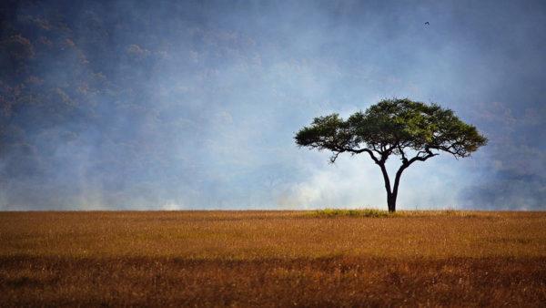 Acacia Tree Tanzania